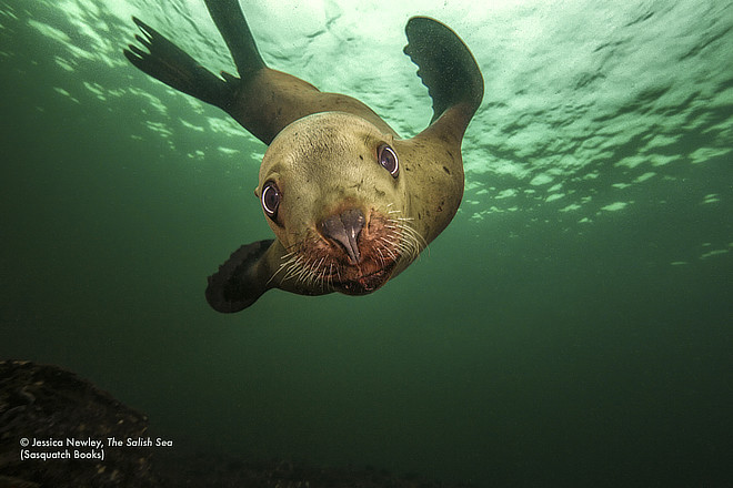 sea lion pup underwater