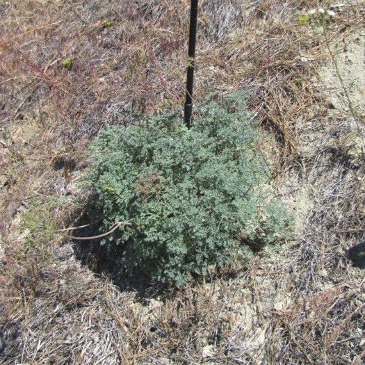 new lomatium plant 3